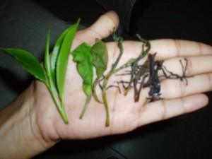 Manual Tea Processing: Tea Shape : From Fresh to Waste