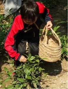 Picking Tea Leaves, Manual Tea Processing